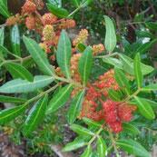 Pistacia lentiscus (Llentiscle)