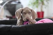 Un chiot braque de veimar mange une couverture rose sur un canapé par coach canin 16 en charente