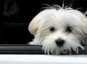Influence de la taille des chiens sur les comportements indésirables