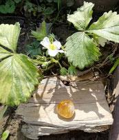 Citrine sous fleur de fraisier