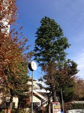 ▲樹木なら、500歳も珍しくないですね
