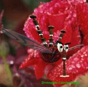 Drosophila Caledoniensis
