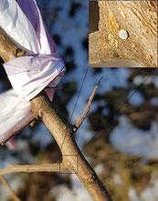 Ei des Nierenfleck-Zipfelfalters