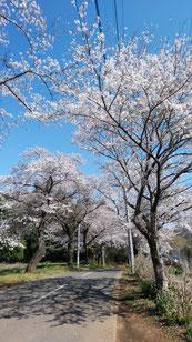 八街市 用草の桜