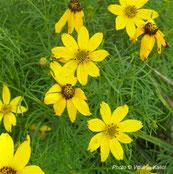 Coreopsis verticillata grandiflora, golden showers