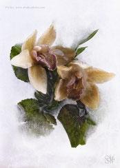 Écrin glacé pour belles fanées