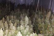marihuana nursery