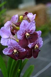 Vanda violett