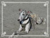 砂まみれの店長犬ジャスパーです。犬種はウィペット。男子です!