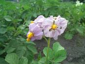 【ジャガイモの花】