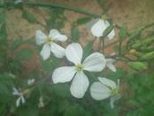 【莢ダイコンの赤花・白花】