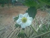 【イチゴの花】