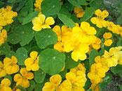 【ナスタチウムの花】