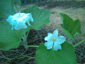 【夕顔の花】