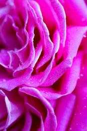 Juni 2018, Rose