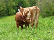 Mutterkühe & Rinder
