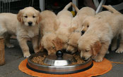 Portée chiots golden retriever
