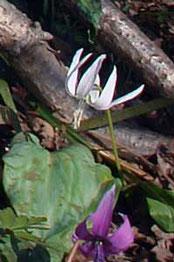 シロバナカタクリ