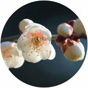 花の写真:梅(うめ)
