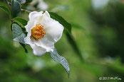東林院の沙羅の花