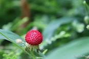 ヘビイチゴ(野の花)
