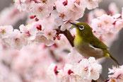 めじろ(鳥)