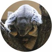 有袋類:コアラ