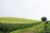 写真集 とうもろこし畑