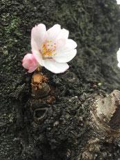 亀戸の公園の幹にひっそり開花した桜の花