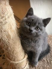 gatto british blu