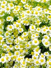 カミツレ花エキス,カモミール,保湿消炎,養麗潤,
