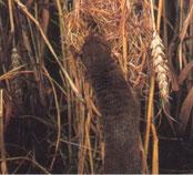Das Nest einer Zwergmaus gibt oft eine ordentliche Mahlzeit ab.