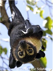 Flying fox surveys and relocation of roosts
