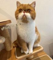 猫のロシアンブルーのハイドさんの画像