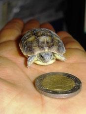 Frisch geschlüpfte griechische Landschildkröte