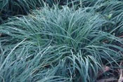 Carex 'China Blue'
