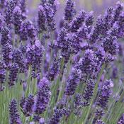 Evas Kräuter-Küche - Lavendel