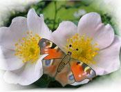 Schmetterling mit Glück