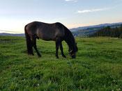Bosnisches Gebirgspferd