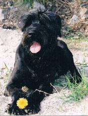 Riesenschnauzer Felix 1992-2000