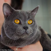 Chatterie Calins Divins France, breed British & Chartreux