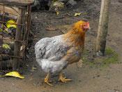 "Mutacion Azul ""Bl/bl"" en gallina. Foto criadero aves Longavi."