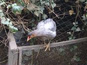 """Mutacion Lavanda o gris perla """"lav"""" mutación recesiva. Gallo y gallina son iguales. foro Enrique Olave (Aves Achawualche)."""