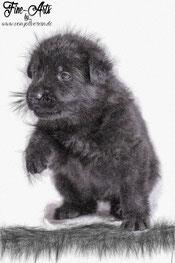 schwarzer Rüde (schwarz)
