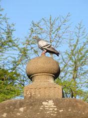 石灯籠ひとりじめ鳩ぽっぽA