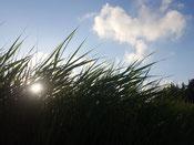 Sonne blitzt zwischen hohen Gräsern hervor, blauer Himmel mit Schäfchenwolken