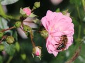 Rosen, möglichst ungefüllt