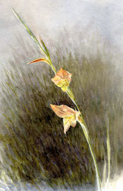 Gladiolus psittacinus, from near Pretoria, painting by Collingwood Ingram