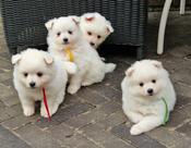 Middenslag Keeshond pup, witte Keeshond pup, Keeshond pupa