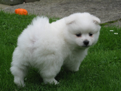 Middenslag Keeshond pup, witte Keeshond pup, Keeshond pups